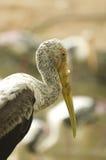 Stork. A photo of close up of a stork stock photos