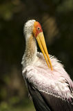 Stork. Close up photo of portrait of a stork stock photos