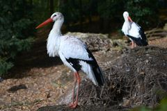 Stork Royalty Free Stock Image