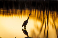 Stork. In water in sunset royalty free stock images