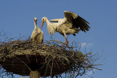 Stork -. A white stork in his nest and blue sky Royalty Free Stock Images