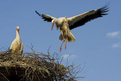 Stork - Stock Photography