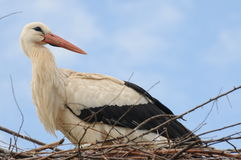 Stork. A stork (Ciconia ciconia) in his nest. Picture taken in the region of Alsace, France Royalty Free Stock Photos