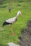 Stork. Royaltyfria Bilder