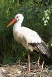 Stork. White stork standing on the nest Royalty Free Stock Images