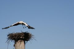 Stork. A flying stork stock photography