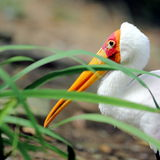 stork Arkivbild