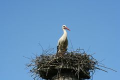 Stork. A stork in the nest stock images