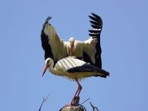 storks mating stock photos