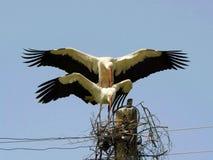 storks mating royalty free stock photos