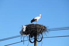 stork Fotografering för Bildbyråer