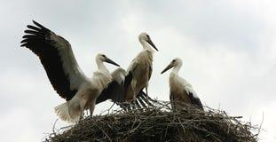 Stork. On the nest in Poland stock photos