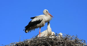 Stork. On the nest in Poland royalty free stock photos
