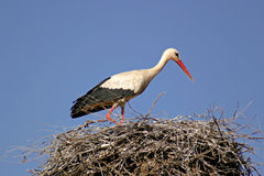 Stork. In its nest over a clear blue backround stock image