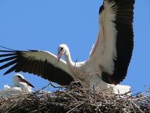Stork. White stork stock image
