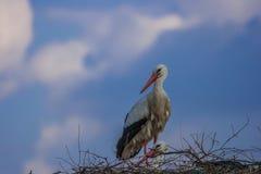 stork royaltyfri bild