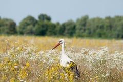 stork Royaltyfri Fotografi