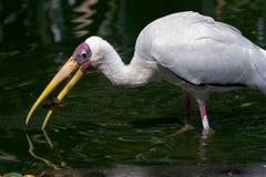 Stork. Photo of a White Stork Royalty Free Stock Image