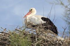 stork Arkivfoto