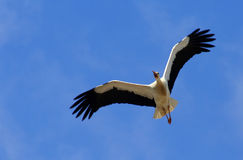 Stork. Flying high above the ground in spring Royalty Free Stock Photo