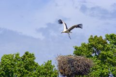 Stork above the nest Stock Photos