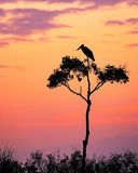 Stork on Acacia Tree in Africa at Sunrise. Silhouette of a Maribou stork on an Acacia tree at sunrise with a pastel pink orange and purple sky Stock Photo
