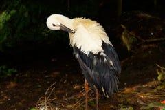 Stork, Adebar, Rattle Stork, Bird Stock Photo