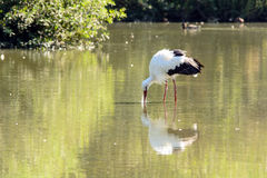 Stork. Adult specimen of White Stork in the marsh Stock Images