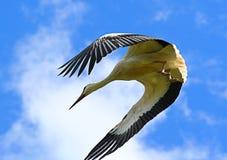 Stork against sky. Stork flying  against blue sky Stock Photography