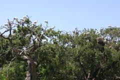 Stork. American stork family nest in Florida wetland Stock Photos
