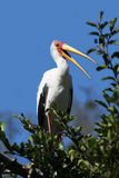 Stork. American stork family nest in Florida wetland Royalty Free Stock Photo