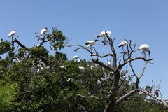 Stork. American stork family nest in Florida wetland Royalty Free Stock Images