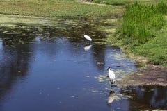 Stork. American stork family nest in Florida wetland Stock Images