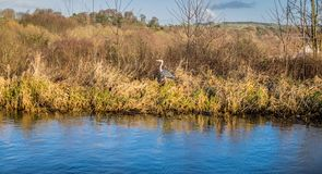A stork amongst long grass next to water. royalty free stock photo