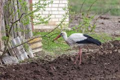 Stork on arable land. Bird stork on arable land, in the countryside Royalty Free Stock Image