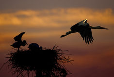 Stork with baby. Stork and baby stork siluette in the nest in sunset Royalty Free Stock Photos