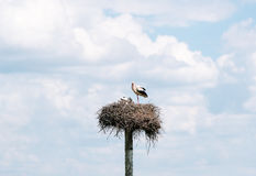 Stork with baby birds in the nest. Stock Photos