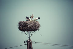Stork with baby birds in the nest, Poland. Royalty Free Stock Image
