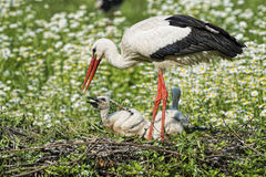 Stork with baby puppy on the daisy background Royalty Free Stock Photo