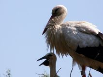 Stork with baby stork Royalty Free Stock Photography
