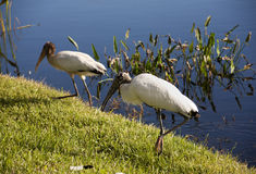 Stork and a  baby storks on a lake in Florida Stock Photography