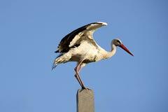 Stork on a background of blue sky. Bird stock image