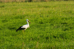 Stork. Beautiful stork on the meadow Stock Photography