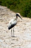 Stork in Belize Royalty Free Stock Photos