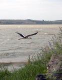 Stork. Big stork flying on Uluabat Lake in Golyazi/Bursa/Turkey Royalty Free Stock Photo