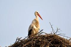 Stork. Big stork in the nest Stock Photos