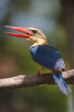 Stork billed kingfisher Royalty Free Stock Image