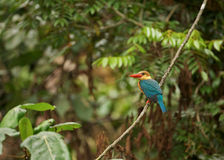 Stork-billed Kingfisher Royalty Free Stock Images