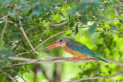Stork-billed Kingfisher bird Stock Photo