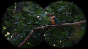 Stork-billed kingfisher bird pelargopsis capensis seen through binoculars. Bird Watching at Wildlife Safari. Shot with a Sony RX10 IV fps 59,94 FHD stock video